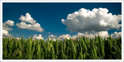 A Biofuel corn field